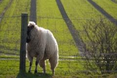 Vratiti se ovcama